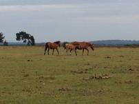 Frei lebende Pferde - New Forest